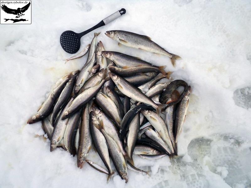 клев рыбы в вохме