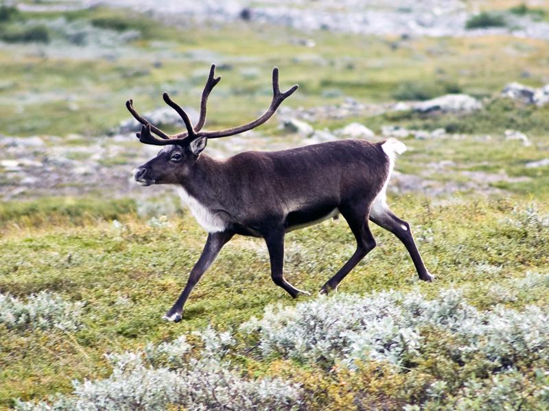 http://aborigen.rybolov.de/img/reindeer1.jpg