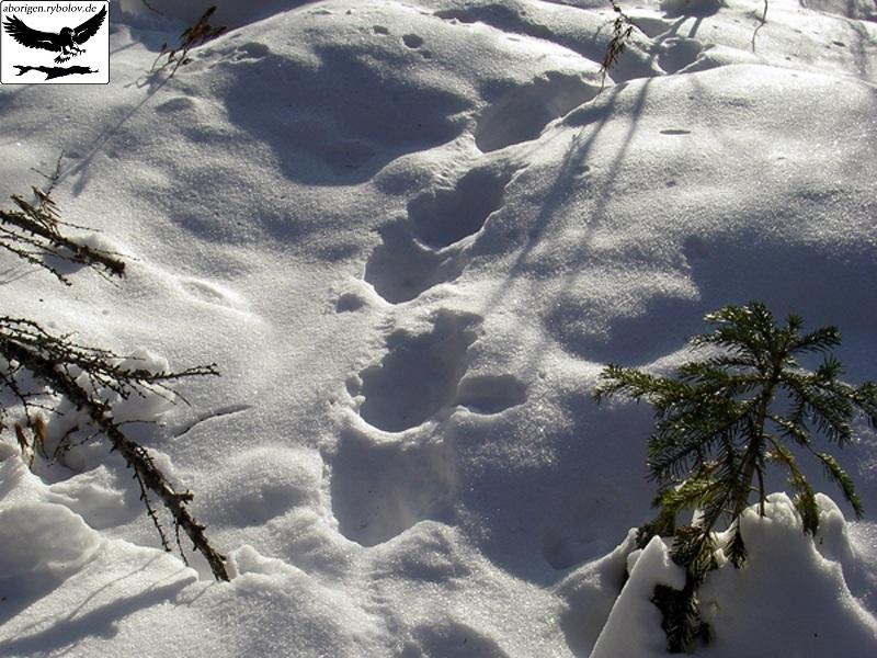 http://aborigen.rybolov.de/img/spuri_wolf.jpg