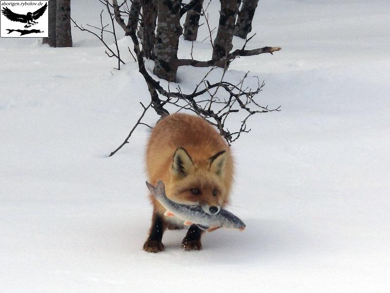 как лиса рыбу ловила