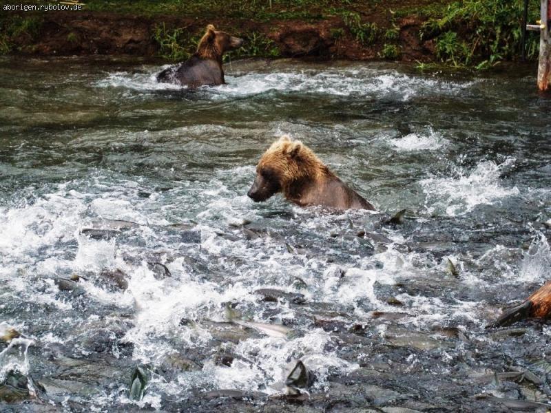 фото как ловят медведей
