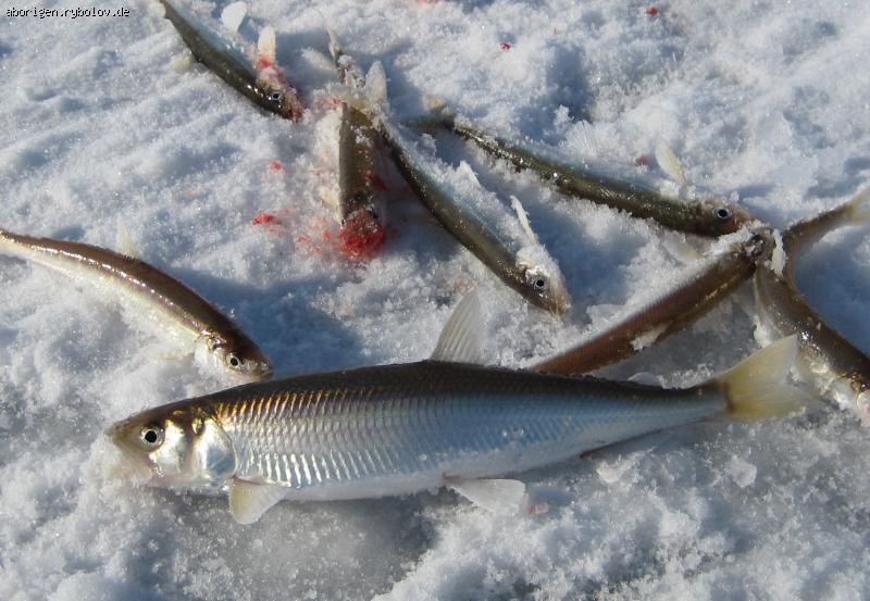 рыбалка на зубаря